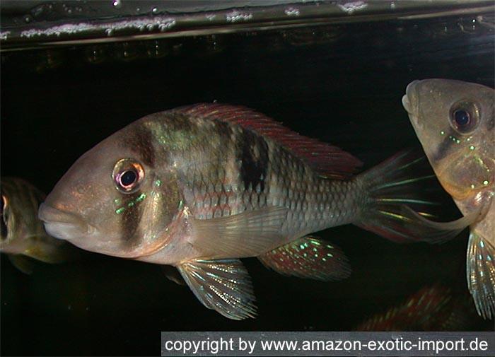 Gymnogeophagus Labiatus Rio Olimar Cichlids