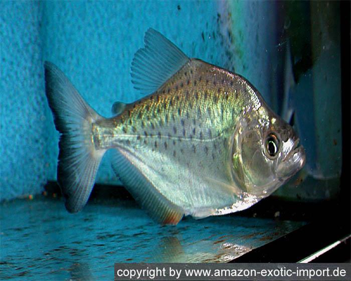 Piranha-Info.com© :: Rhombeus Piranha