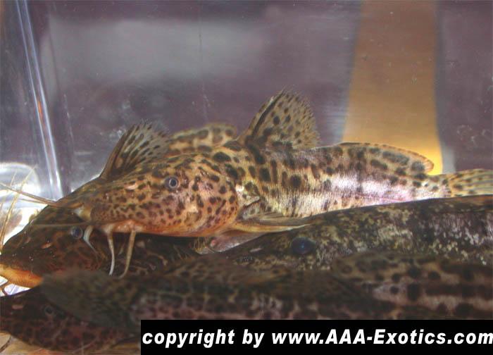Parauchenoglanis Macrostoma